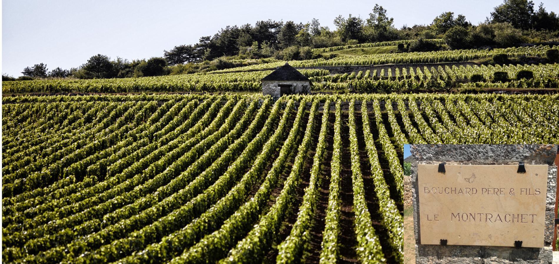 Bouchard vigne et plaque taille ok